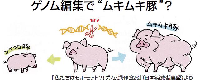 """ゲノム編集で""""ムキムキ豚""""?「私たちはモルモット?!ゲノム操作食品」(日本消費者連盟)より"""