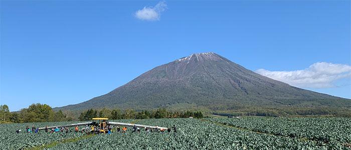 ブロッコリー収穫 板敷とんぼ