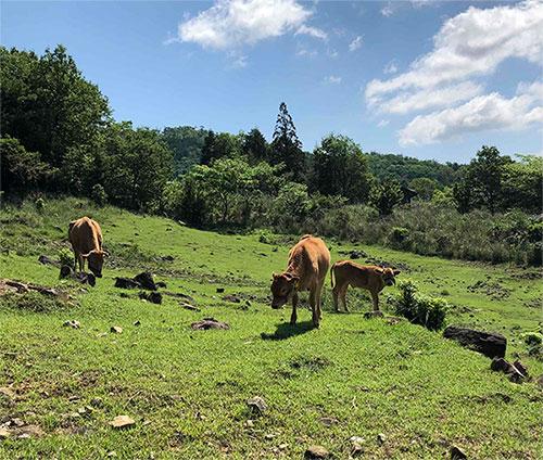 能勢農場の放牧牛