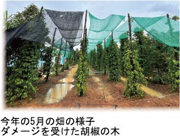今年 5月の畑の様子。ダメージを受けた胡椒の木。